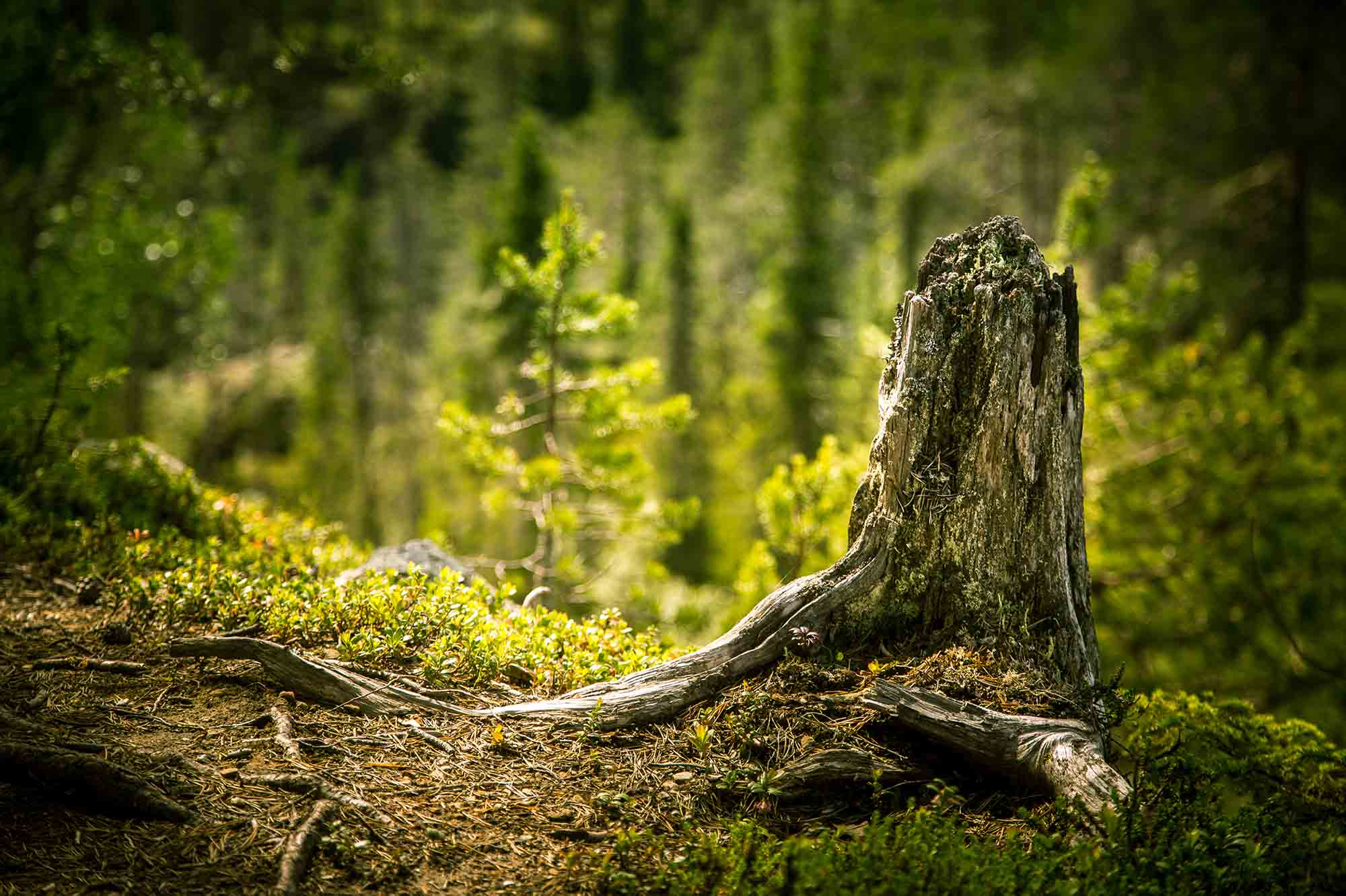 stump in a forest landscape